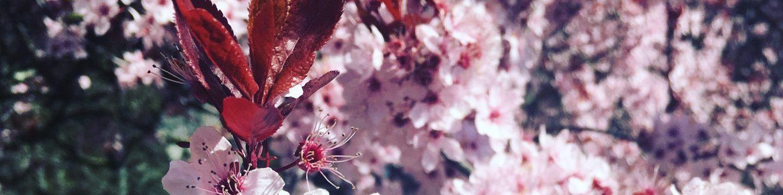 cerisierose